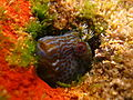 Horned Blenny (Parablennius intermedius) (8378952604).jpg