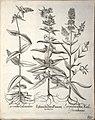 Hortus Eystettensis, 1640 (BHL 45339 287) - Classis Aestiva 135.jpg