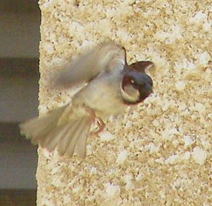 English: A male House Sparrow (Passer domestic...