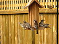 House Sparrows at feeder.jpg