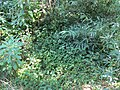 Houttuynia cordata Thunb. (AM AK360344-4).jpg
