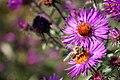 Hoverfly-botanic-park-bern-switzerland-2.jpg
