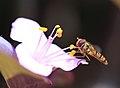 Hoverfly - 花虻(ハナアブ) (8849247357).jpg