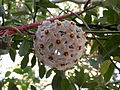 Hoya carnosa (3172131588).jpg