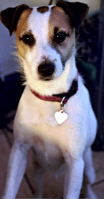 English: This is Huxley, a Jack Russell terrie...