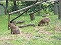 Hydrochoeris hydrochaeris pair in Howletts Wild Animal Park 3.jpg