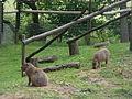 Hydrochoeris hydrochaeris pair in Howletts Wild Animal Park 4.jpg