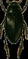 Hydrophilus piceus male Jacobson.png