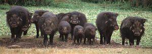 Giant forest hog - Image: Hylochoerus meinertzhageni