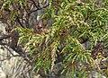 Hypericum myricariifolium (2).jpg