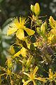 Hypericum perforatum vallee-de-grace-amiens 80 21072007 4.jpg
