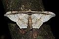 Hyposidra infixaria (Geometridae- Ennominae- Boarmiini) (22790323186).jpg