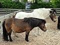Icelandic ponies - Copenhagen Zoo - DSC08963.JPG