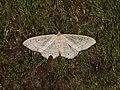 Idaea aversata (42503504224).jpg