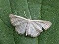Idaea pallidata - Малая пяденица бледная (26101915747).jpg