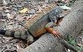 Iguana en Jardin Botanico - panoramio.jpg
