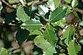 Ilex aquifolium (English holly) (Middletown, Ohio, USA) 5 (49113279628).jpg