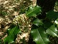 Ilex aquifolium jfg.jpg