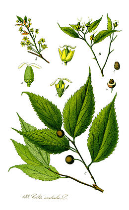 Illustration Celtis australis1.jpg