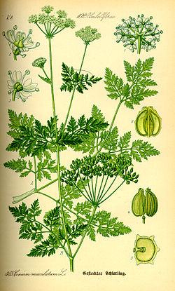 Cicuta planta venenosa