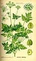 Illustration Conium maculatum0.jpg