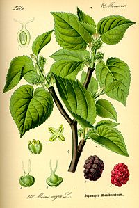 Illustration Morus nigra0.jpg