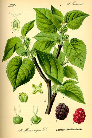 Murrey - The mulberry (Morus nigra), with its reddish-purple fruit, gives its name to the stain murrey.