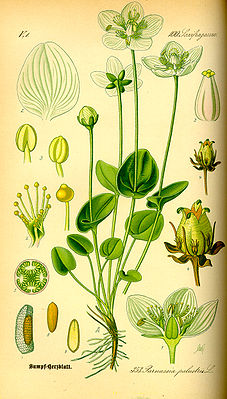 Sumpf-Herzblatt (Parnassia palustris), Illustration.