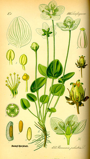 Description de l'image Illustration Parnassia palustris0.jpg.