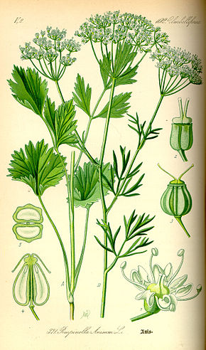 Description de l'image Illustration Pimpinella anisum0.jpg.