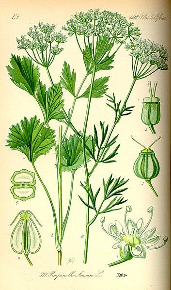 planche botanique de l'anis vert