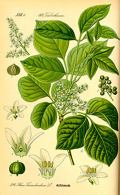 Giftefeu (Rhus radicans), Illustration