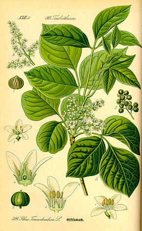 Description de l'image Illustration Rhus toxicodendron0.jpg.