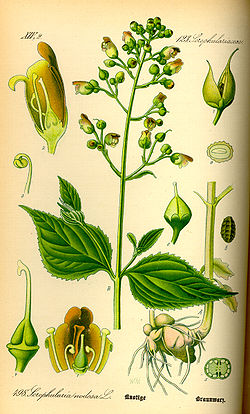 Illustration Scrophularia nodosa0.jpg