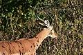 Impala, Ruaha National Park (9) (28127908863).jpg