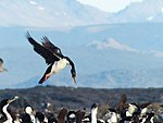 Imperial shag landing on Island in Beagle Channel.jpg
