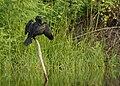 IndianCormorant DSC0215.jpg