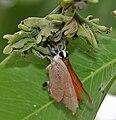 Indian Red Flash (Rapala jarbus) on Cassia fistula (Amaltas) at Hyderabad, AP W IMG 7182.jpg