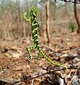 Indian chameleon (Chamaeleo zeylanicus).jpg