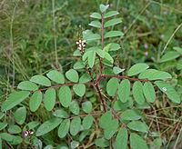 Indigofera astragalina (Phulzadi) in Hyderabad, AP W IMG 0202
