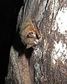 Infected tri-colored bat in Alabama (6830740072).jpg