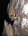 Infected tri-colored bat in Alabama (6830740072).jpg
