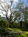Inhotim tree - panoramio.jpg