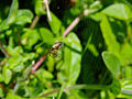 Insect spider 20070709 0094.jpg