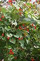 Ipomoea hederifolia01.JPG