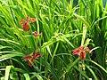 Iris fulva 1.jpg
