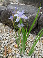 Iris gracilipes1.jpg