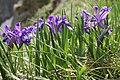 Iris ruthenica - Bucegi, Jepii mici 1.jpg