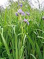 Iris versicolor 5.jpg