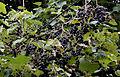Isabella grapevine - Vitis labrusca 03.jpg